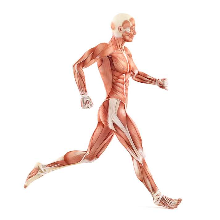 Basics of the Muscular System Educational Resources K12 Learning