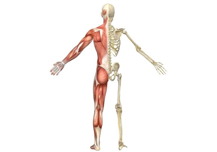 The Muscular and Skeletal Human Body Systems Educational Resources K12 Learning