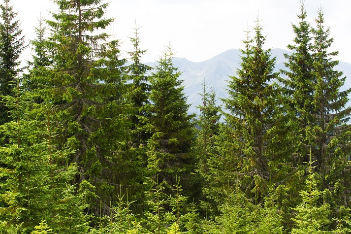 Coniferous Forests and Pine Cones Educational Resources K12 Learning
