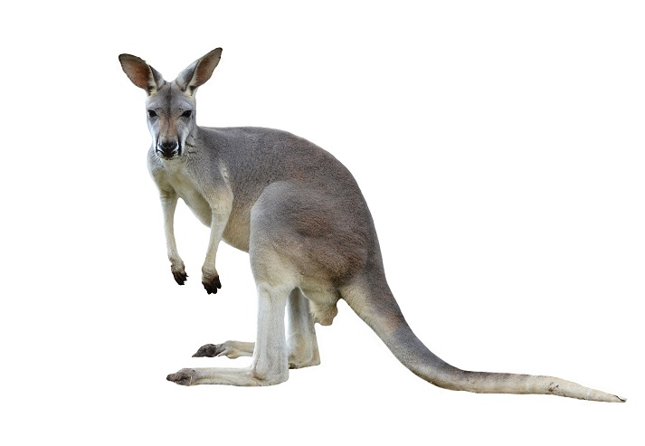 Marsupials: Kangaroos Educational Resources K12 Learning