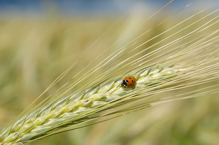 Ladybugs: A Farmer's Friend Educational Resources K12 Learning