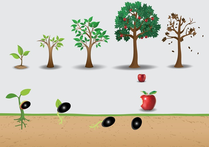 The Life Cycle of a Tree Educational Resources K12 Learning