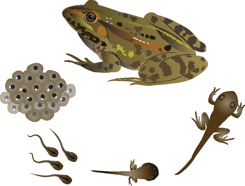 Life Cycle of a Frog Educational Resources K12 Learning