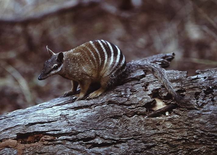 Marsupials: Numbats Educational Resources K12 Learning
