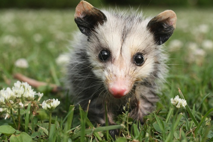 Marsupials: Opossums Educational Resources K12 Learning