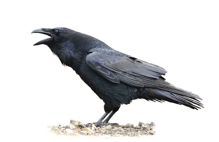 Quoth the Raven ... Nevermore! Educational Resources K12 Learning