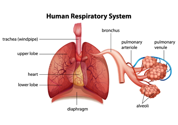 Breathing in the Body Educational Resources K12 Learning