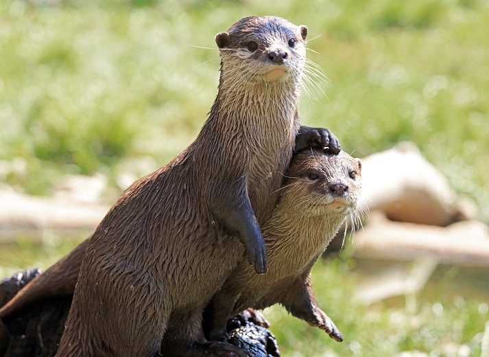 Otters and Their Personalities Educational Resources K12 Learning