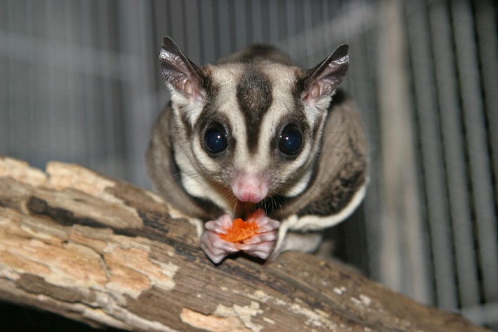 Marsupials: Gliders Educational Resources K12 Learning
