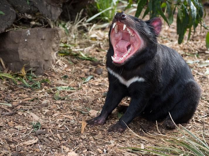 Marsupials: Tasmanian Devils Educational Resources K12 Learning