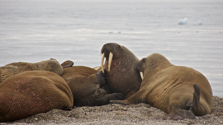 Walruses Educational Resources K12 Learning
