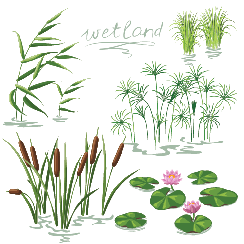 Wetlands: Plants Educational Resources K12 Learning