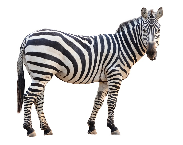 Zebras Educational Resources K12 Learning
